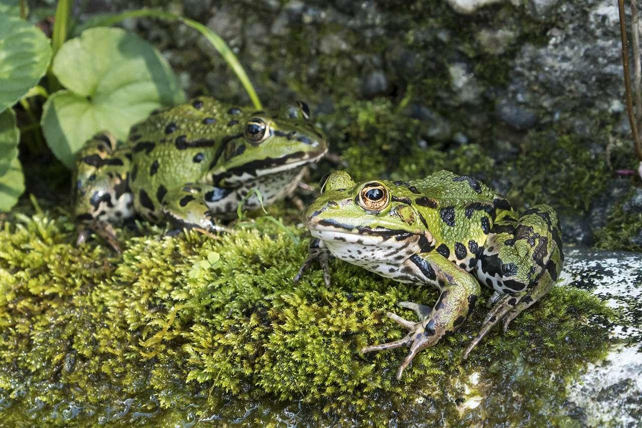 frogs FrogID