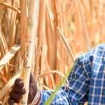 sugarcane QUT